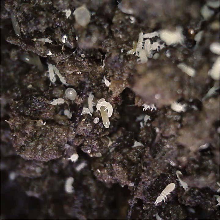 Springschwänze, Milben und Weißwürmer (Enchyträen), Foto: hubus