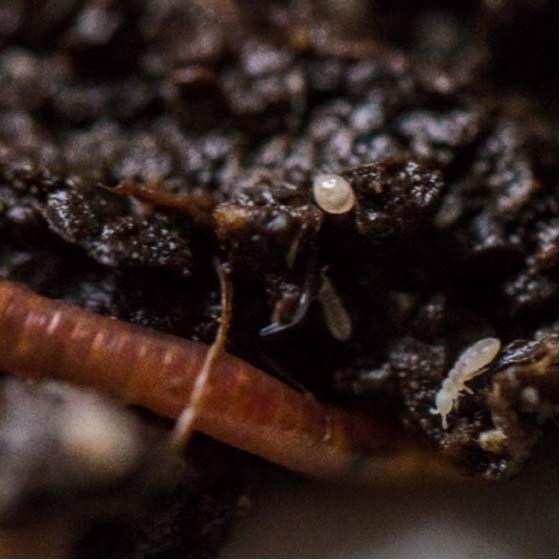 Kompostwurm mit Milbe und Springschwanz. Foto von Alexandra Macnaughton