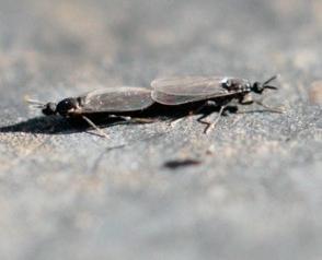 Dungmücken Scatopsidae