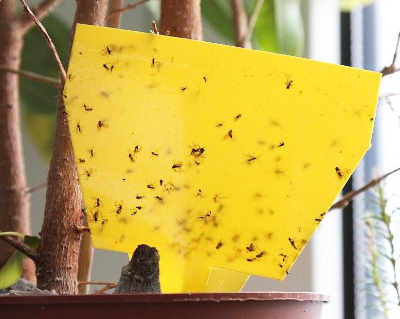 Gelbtafel gegen Trauermücken